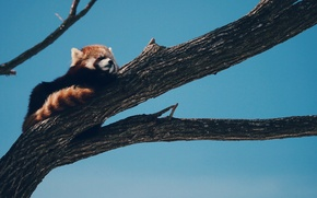 Wallpaper tree, sleeping, firefox, Red Panda