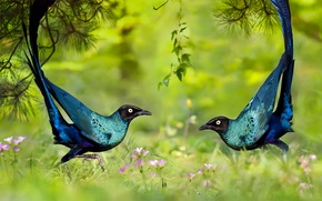 Wallpaper dance, grass, brilliant long-tailed Starling, bird, nature