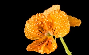 Picture flower, drops, macro, yellow, yellow, macro, drops, Pansy, pansy