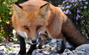 Picture look, Fox, red