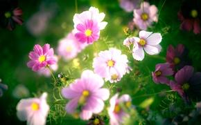 Wallpaper flowers, pink, petals, white