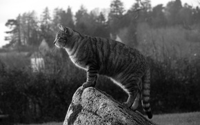 Picture cat, cat, stone, Koshak, observation