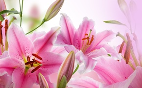 Picture leaves, petals, buds, flowering, leaves, petals, blossoms, buds, pink Lily, pink Lily