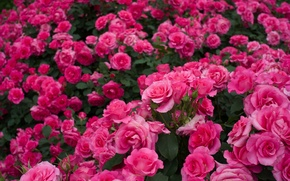 Picture roses, a lot, rose bushes