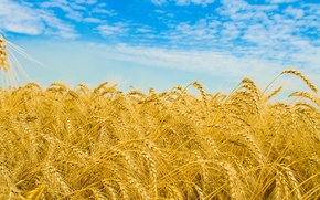 Picture wheat, field, the sky, clouds, macro, nature, field, spikelets, ears, wheat fields