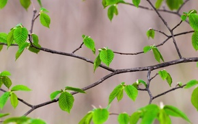 Picture nature, Sheet, branch, spring, morning