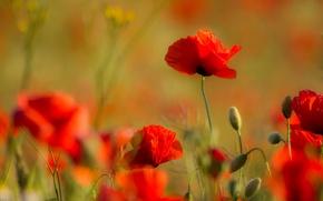 Picture field, nature, Maki, petals, stem, meadow