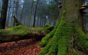 Picture greens, autumn, forest, leaves, tree, moss