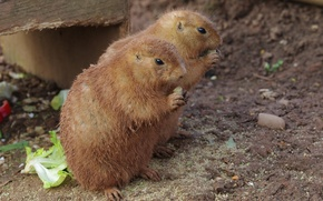 Picture animals, cute, hamsters
