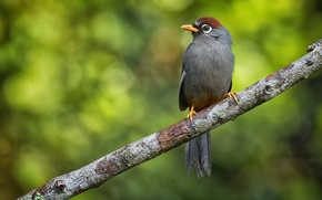 Picture bird, branch, bokeh, family Tumelevich, a family of passerine birds, Weng Keong Liew photography, Costarica