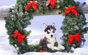 Picture snow, Christmas, puppy, husky