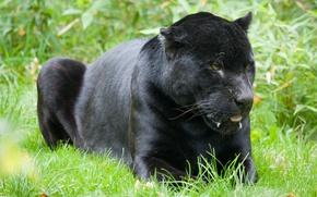 Picture cat, grass, black, Jaguar