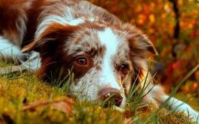 Wallpaper autumn, look, face, dog, The border collie
