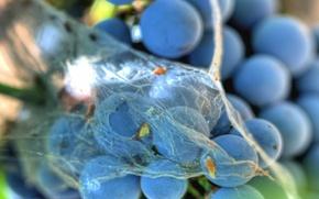 Picture web, grapes