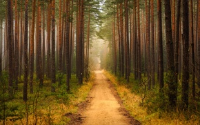 Picture forest, trail, pine, Bor