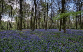 Picture purple, flowers, forest, forest, field of flowers, flowers, purple, branches, field of flowers, branches
