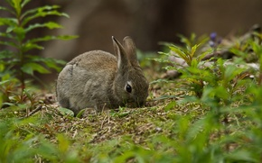 Picture grass, grey, rabbit
