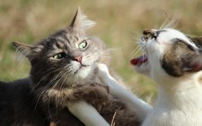 Picture cat, cat, face, showdown