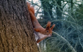Picture winter, branches, tree, red, squirrel