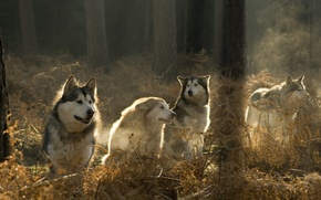 Picture forest, pack, wolves