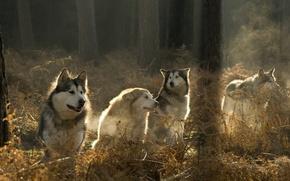 Wallpaper pack, wolves, forest