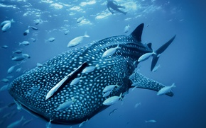 Picture water, nature, the ocean, fish, shark, diver