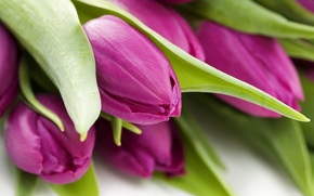 Picture flowers, macro tulips