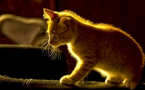 Picture red, kitty, ginger kitten