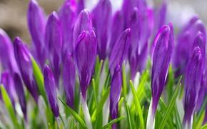 Picture grass, flowers, spring, purple, crocuses