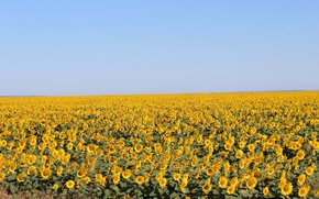 Picture field, the sky, sunflower, Tatarstan