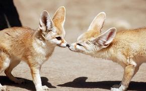 Picture Fox, pair, profile, Fox, Fenech