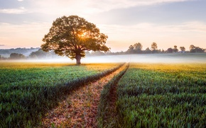 Picture field, landscape, nature, fog, sunrise, tree, England, morning