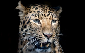 Wallpaper mustache, face, close-up, predator, blur, leopard, fangs, black background, spotted