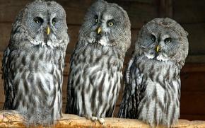 Picture owls, Lapland Owl, great grey owl, Great Grey Owl, Trinity