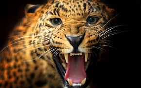 Picture cat, mustache, look, animal, mouth, leopard, fangs, color, black background
