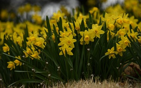 Picture a lot, yellow, daffodils