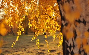 Picture leaves, the sun, birch, Golden autumn