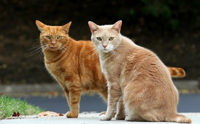 Picture cats, pair, red