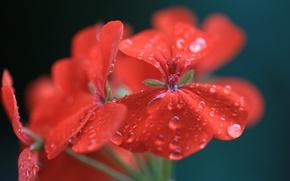 Picture flower, water, drops, macro, red, geranium, pelargonium