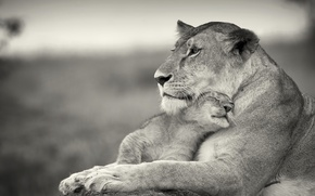 Picture love, cats, weasel, lioness, lion