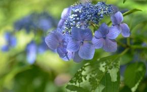 Wallpaper macro, flowers, bokeh, hydrangea, inflorescence