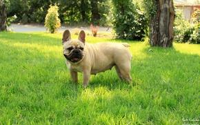 Picture grass, girl, French bulldog, French Bulldog
