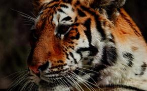 Picture face, tiger, predator, handsome