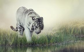 Picture white, grass, water, tiger, background, blur, striped, drink, White Tiger