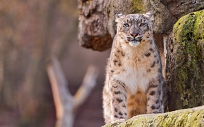 Wallpaper look, rock, IRBIS, snow leopard