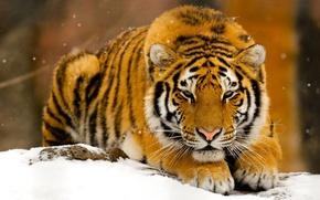 Wallpaper winter, snow, tiger, predator, red, beast