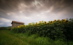 Picture field, sunflowers, nature