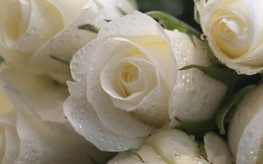 Picture drops, macro, flowers, roses, white