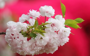 Picture macro, cherry, background, branch, Sakura, flowering, flowers