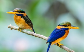 Picture bird, branch, feathers, beak, pair, tail, Kingfisher